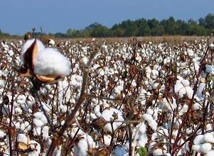 农业部提出稳定今年国内棉花生产