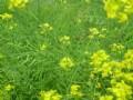 2011年国内菜籽生产情况及收购形势