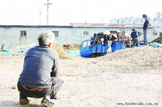 唐光来 段学虎/奶农唐光来无奈地望着即将要卖掉的奶牛