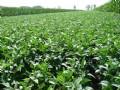 2011年7月29日黑龙江大豆价格走势分析